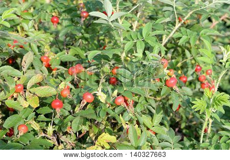Rose fruits on wild rose branches it can be used as background.