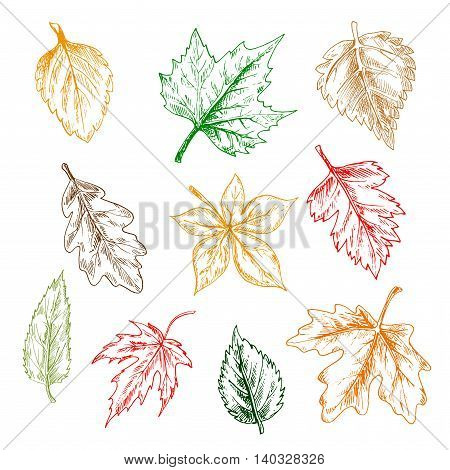 Leaves of trees and plants set. Pencil sketch vector isolated leaf icons of oak, maple, birch, aspen, chestnut, elm, poplar