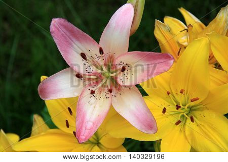 Pink And Yellow Lily Flowers (liliums) In The Garden In A Summer Time