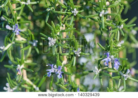 Closeup of rosemary bush in bloom, blue flowers