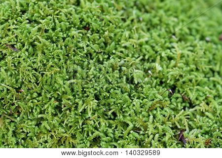 Closeup of lush green moss in the winter, as a background