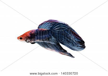 Siamese fighting fish or Betta splendens isolated on white background on white background included clipping path Plakat Thailand