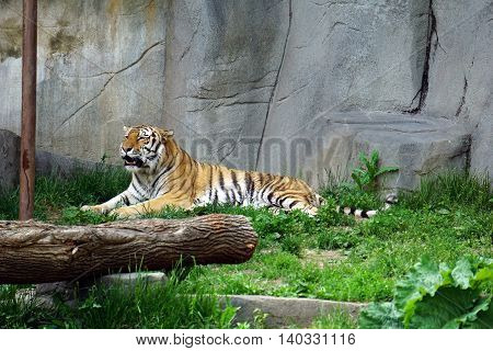 BROOKFIELD, ILLINOIS / UNITED STATES - MAY 21, 2016: An Amur tiger (Panthera tigris altaica) rests on the ground.