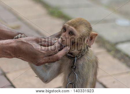 A man feeding his pet monkey used for street side shows