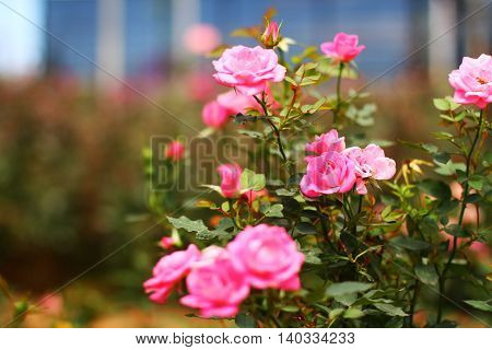 Beautiful and fresh Pink roses in the garden