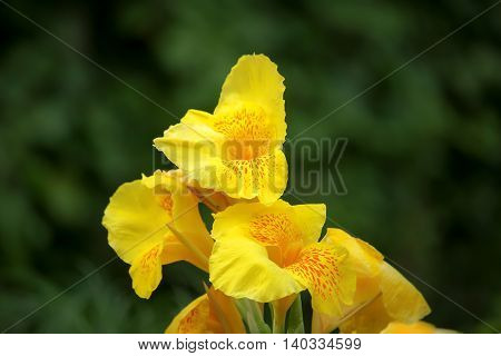 Close up of Yellow Canna flower and green backgound