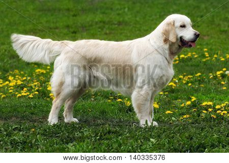 beautiful purebred dog Golden Retriever standing in the show position summer on nature Park
