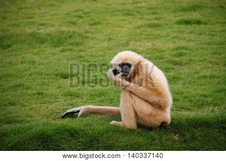 White gibbon sitting on the grass field in the zoo
