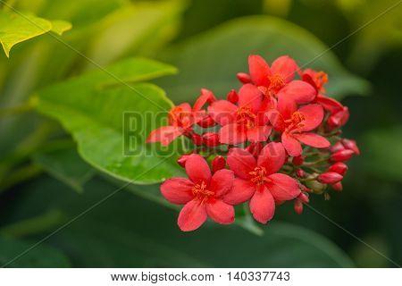 red Jatropha integerrima flower Peregrina or Spicy Jatropha