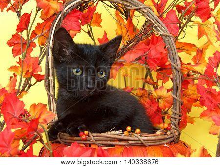 Fuzzy black kitten in wicker pumpkin basket with yellow and orange leaves around yellow background. Fall Autumn season theme