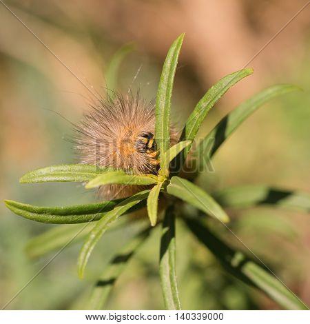 Macro of a Marsh Moth Caterpillar eating a leaf.