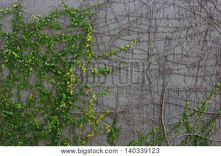 Green creeper plant growing cover the wall