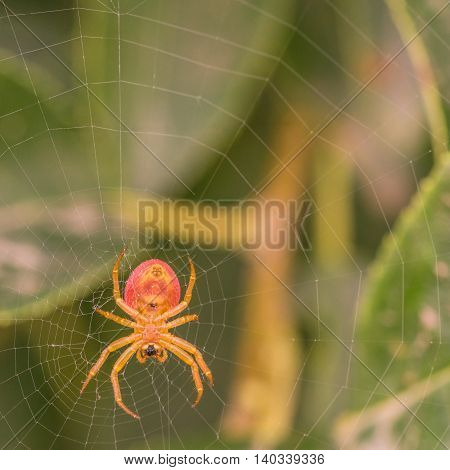 Macro of the underside of a spider in its web.