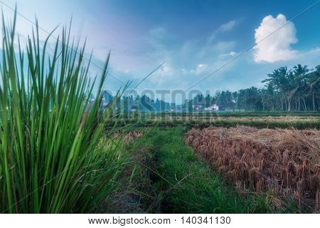 Rice field with building on the background. Ubud, Bali, Indonesia