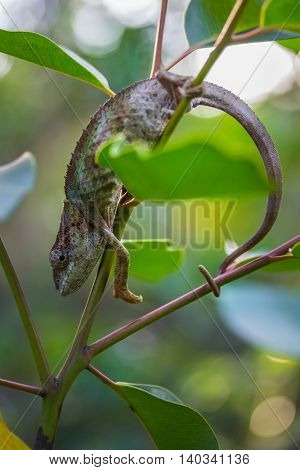 Close up shot of the chameleon on the branch of the exotic plant in a forest. Madagascar