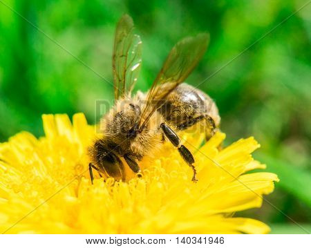 Bee collecting nectar or honey on the dandelion