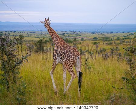 Giraffe in Murchison Falls National Park, Uganda while on safari