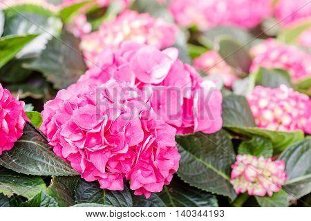 Hydrangea Flower (hydrangea Macrophylla) In A Garden