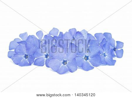 periwinkle blue flower on a white background