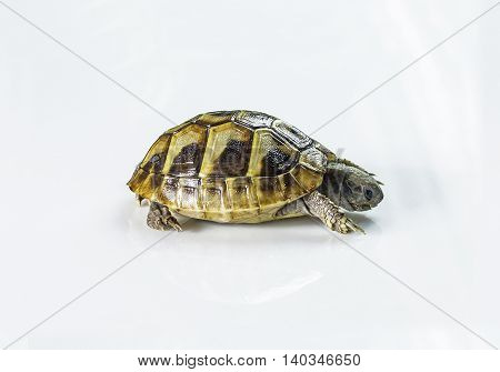 Young Greek Tortoise