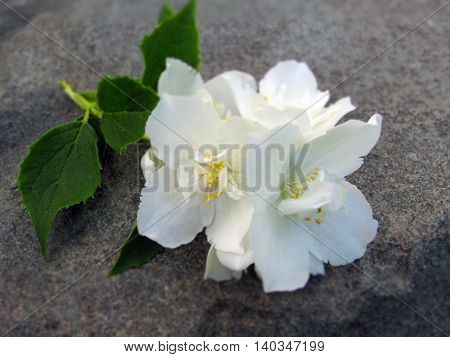 Branch of a flowering jasmine on a background of gray stone