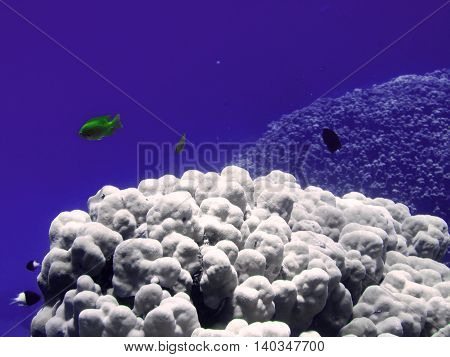 Yellow small fish with big colals. Coral reef on the sand bottom. Underwater paradise for scuba diving freediving. Red sea Dahab Egypt.
