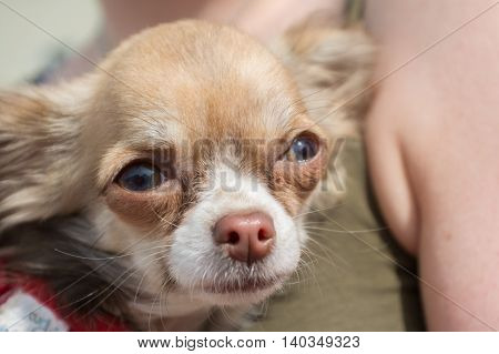 Closeup the little Mexican dog breed Chihuahua - portrait