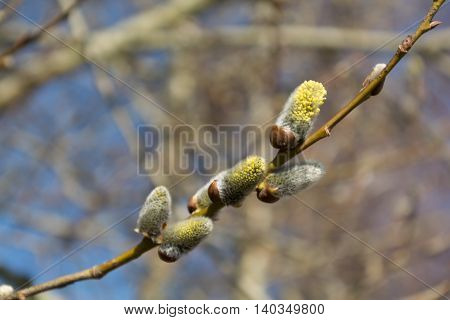Branch of a blossoming willow - depth of field