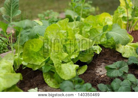 Closeup of a cold frame with lettuce and kohlrabi plants
