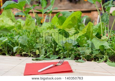 Cutlery is ready for harvest of radishes lettuce and kohlrabi in a cold frame