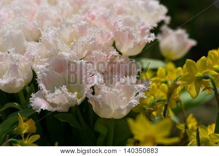 white fringed tulips and daffodils - Close-up