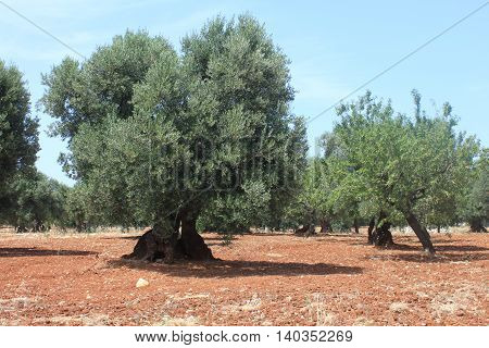 Mediterranean olive field with old olive trees against the blue cloudless sky