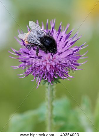 Closeup image of a bumblebee in a purple flower