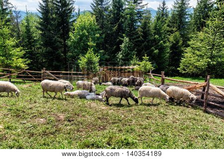 Sheep Grazing In The Meadow In Mountains