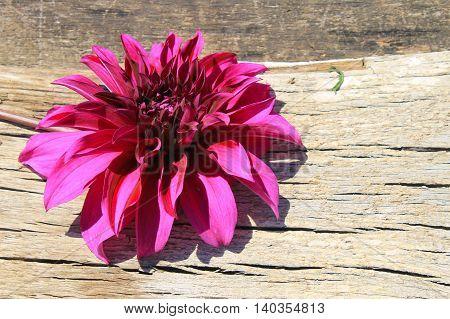 Purple dahlia flower on the wooden background