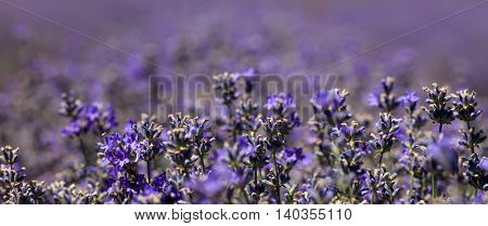 Close-up of beautiful bright blossoming lavender field.Bokeh