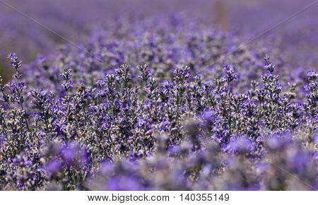 Summer scented violet lavender field.Bokeh