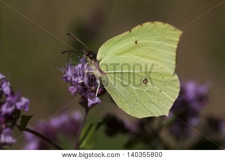 a bright yellow brimstone butterfly on a purple flower