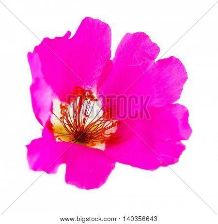 purslane flower isolated