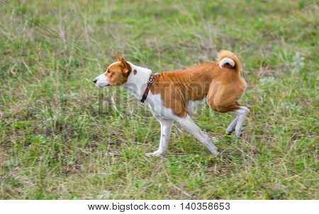 Gorgeous basenji chasing the prey outdoor .
