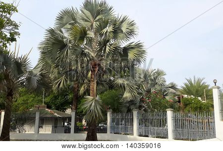 silver-gray Bismarkia palm trees growing beside white block and wrought iron wall with red-jasmine bushes, small building just behind the fence, distant palm trees
