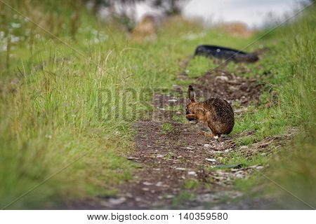 Brown Hare on path, cleaning large ears, wet from bathing in puddle (Lepus europaeus)