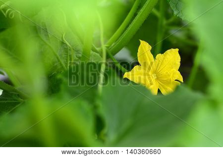 Yellow cucumber flower in a greenhouse.Blossom of Boston pickling cucumber growing on vine