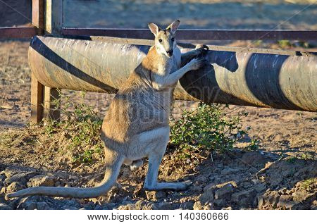 Male Agile Wallaby (Macropus agilis) at a drinking trough in outback Australia