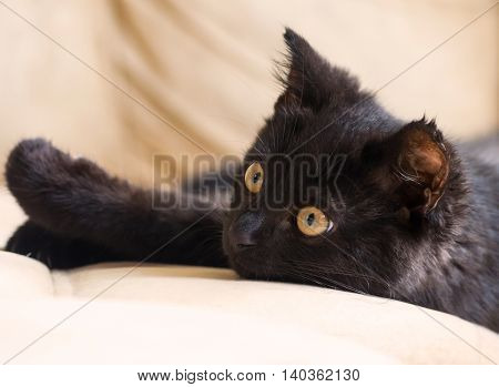 portrait of a little black kitten, three months, purebred, with big yellow eyes lying on a beige couch, very cute, carefully