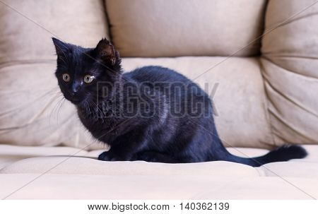portrait of a little black kitten, three months, purebred, with big yellow eyes lying on a beige couch hunts