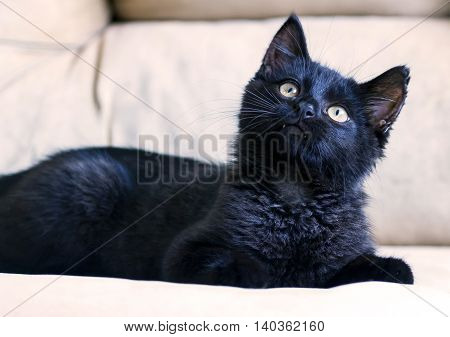 portrait of a little black kitten, three months, purebred, with big yellow eyes lying on a beige couch and looking up