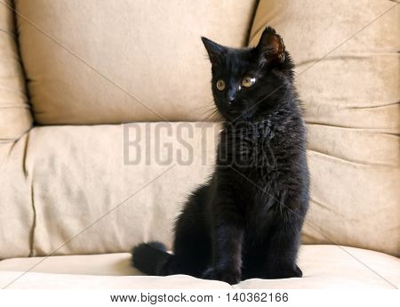 portrait of a little black kitten, three months, purebred, with big yellow eyes sitting on a beige sofa