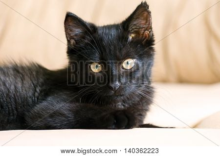 portrait  little black kitten, three months, purebred, with big yellow eyes lying on a beige couch and looking straight carefully
