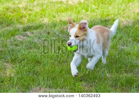 Border collie puppy running with a ball in its mouth.